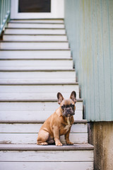 A brown french bulldog puppy sitting on stairs outside.