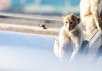 Nachdenklicher Affe auf dem Affenfelsen in Gibraltar
