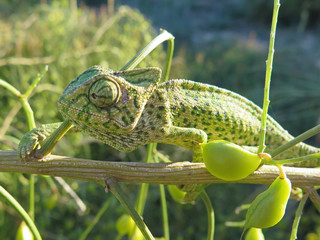 closeup of a head of a green/camouflage chameleon (Chamaeleo chamaeleon) found in spain
