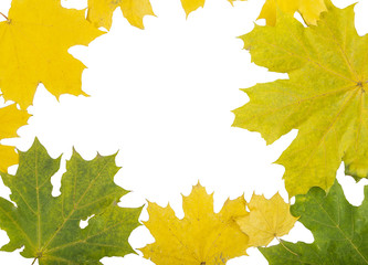 maple leaves on white isolated background