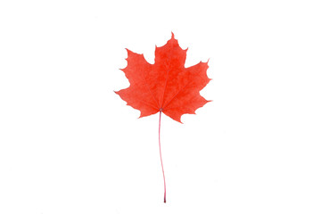 single red maple leaf on white isolated background