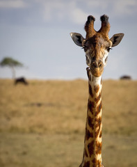 Close up of a giraffe staring at viewer with oxpecker bird on neck