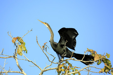 Anhinga (aka Snakebird, American Darter) Spreading its Wings, about to take off from the Top of a Tree. Rio Claro, Pantanal, Brazil