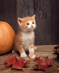 halloween pumpkin jack-o-lantern and ginger kitten on black wood background