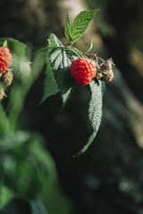 Raspberry on a bush