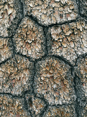 Close up of bark from old growth White pine tree