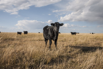 lone young cow in a field
