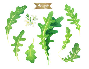 Fresh Arugula leaves and flowers isolated on white watercolor illustration