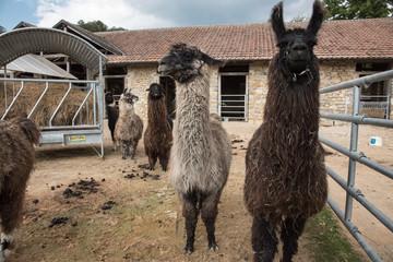 Lamas auf Zuchtstation