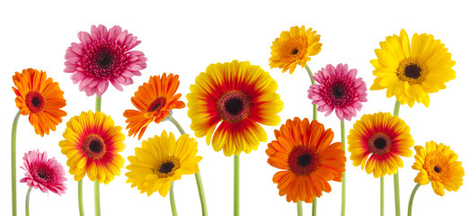 colorful gerbera flowers isolated can be used as background