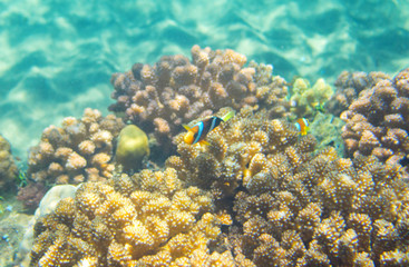 Turquoise blue water and coral reef. Tropical seashore inhabitant underwater photo.