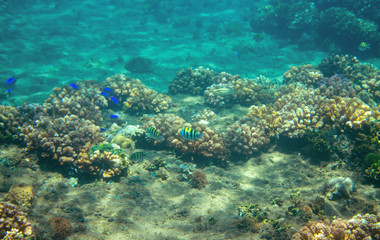 Small blue fishes in coral reef. Tropical seashore inhabitants underwater photo.