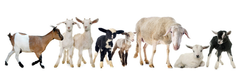 goat, kid, ewe and lambs