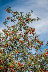 Le Sorbier de Oiseaux à Laguiole dans l'Aveyron