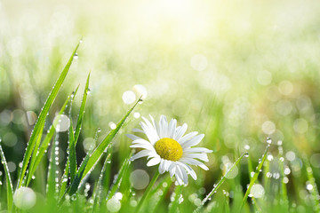 Wall Mural - Fresh green grass with dew drops and daisy on meadow closeup. Spring season.Natural background.