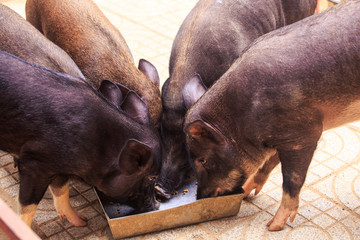 Closeup Black Pigs Eat from Trough in Zoo