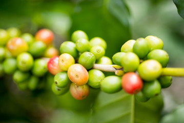 Organic red green  coffee cherries beans