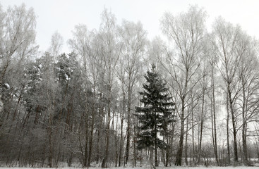 Winter trees, close-up