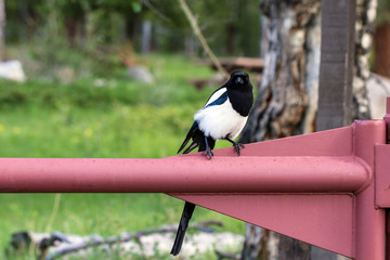 Black-billed Magpie in Rocky Mountain National Park in Colorado