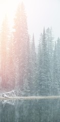 Snow covered pine trees on lakeside