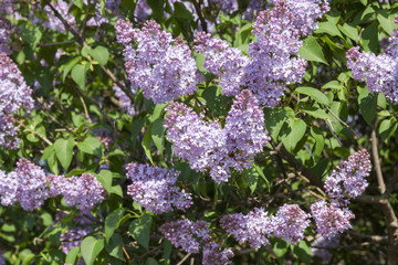lilac flowers in May
