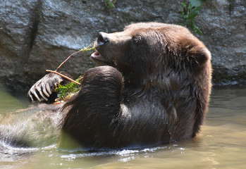 Brown bear nibbling on a twig while in a bath