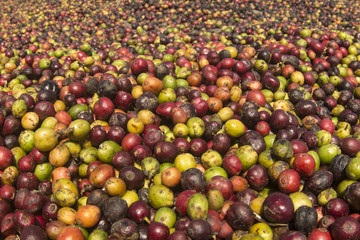 Spoed Foto op Canvas Olijfboom Raw organic coffee beans