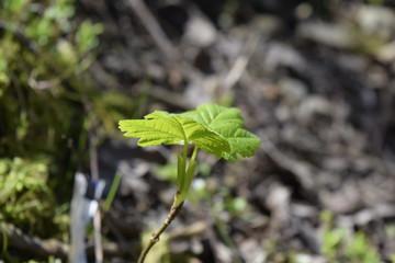Leaf Of Spring