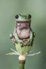 Tree frog sitting on a lotus flower