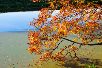 Golden autumn tree by the river