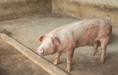 pig  In the village, waiting to eat food in the country,
