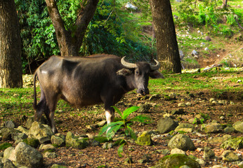 Cow or carabao on forest pasture. Asia agriculture travel photo.