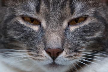 Portrait of grumpy cat closeup