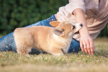 Welsh corgi pembroke puppy playing with a hand