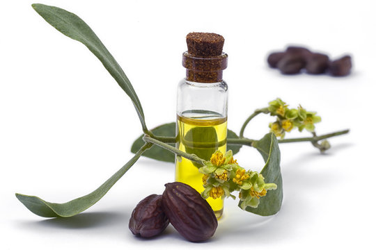 Jojoba (Simmondsia chinensis) oil, leaves, flower and seeds on White background