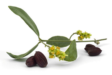 Jojoba (Simmondsia chinensis) flower, leaves and seeds on White background