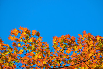 Maple leaf red autumn with blue sky background.