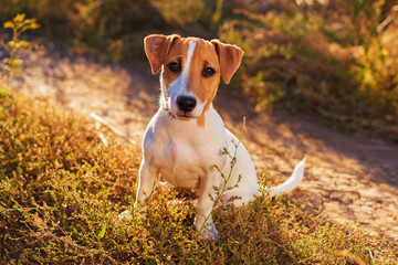 Portrait of Jack Russell Terrier. nice puppy dog walking on autumn alley