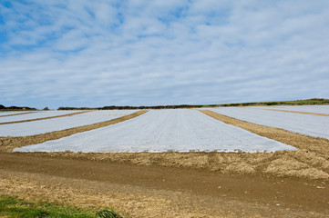 Plastic covered crop in field