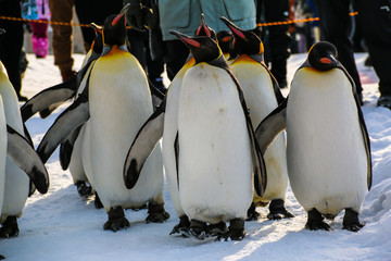 King penguins walking on the snow,Japan.