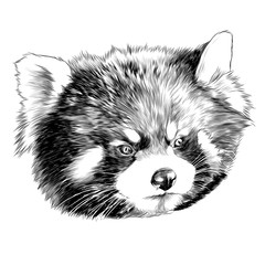 red Panda head sketch vector graphics monochrome black-and-white drawing