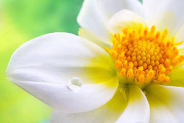 Tropical white flower with yellow stamens and a drop of water on a green background macro. Colorful elegant graceful expressive image of nature, wallpaper.