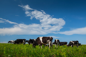 Fototapete - Cows on green meadow and blue sky with clouds