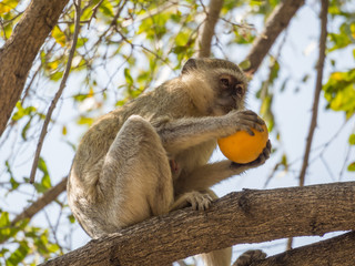 Cheeky vervet monkey or Chlorocebus pygerythrus sitting in tree and eating stolen orange, Kaokoveld, Namibia, Africa