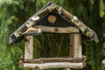 Eurasian Nuthatch at the feeder