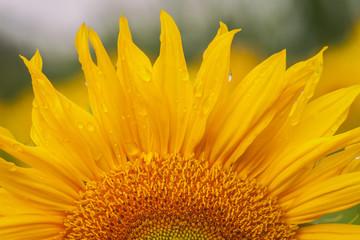 Sonnenblume - Blüte mit Wassertropfen - Makroaufnahme
