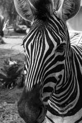 Aluminium Prints portrait of zebra. Black and white version.
