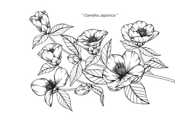Camellia Japonica flower drawing.