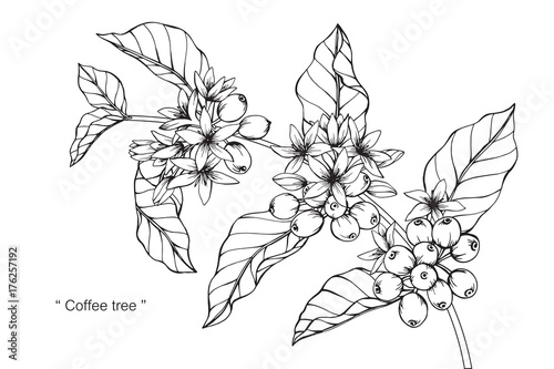 Coffee Tree Drawing Stock Photo And Royalty Free Images On Fotolia