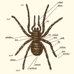 Illustration of a spider anatomy include all name of animal parts. Birdeater species in hand drawn or engraved style. arachnology